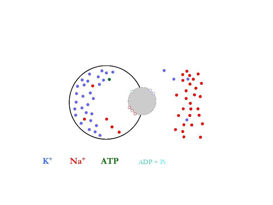 K+ Na+ ATP ADP + Pi