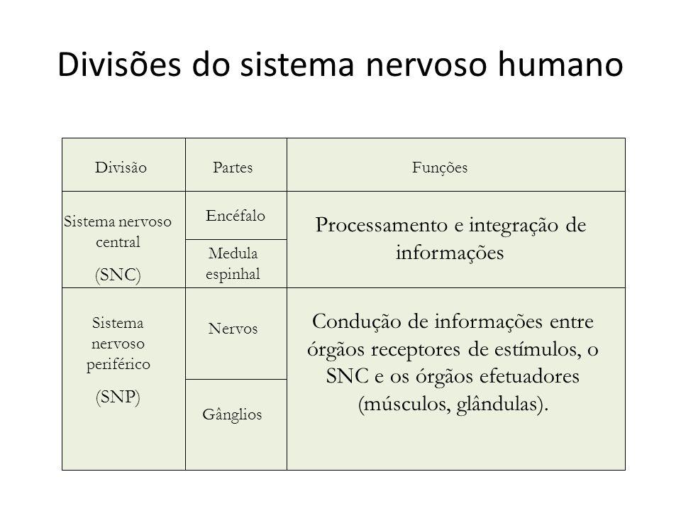 Divisões do sistema nervoso humano