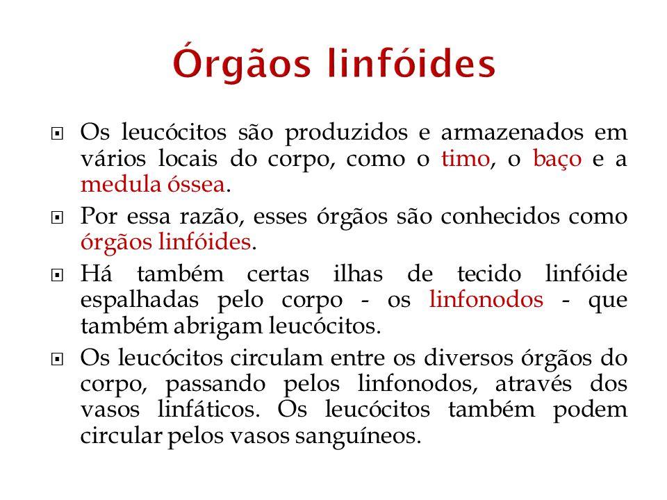 Órgãos linfóides Os leucócitos são produzidos e armazenados em vários locais do corpo, como o timo, o baço e a medula óssea.