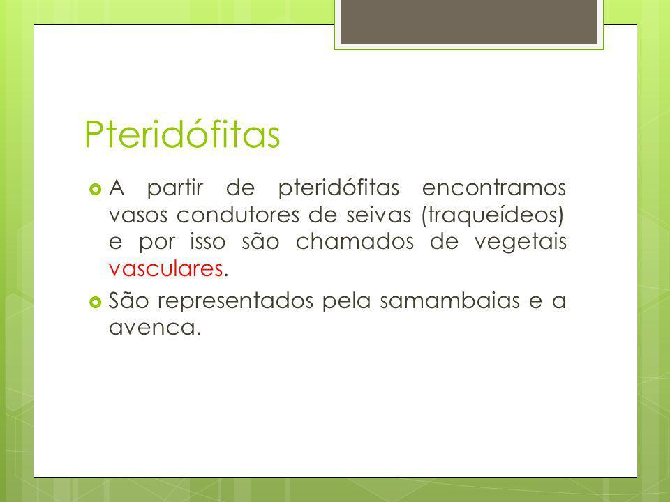 Pteridófitas A partir de pteridófitas encontramos vasos condutores de seivas (traqueídeos) e por isso são chamados de vegetais vasculares.