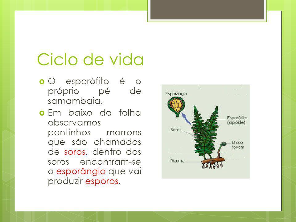 Ciclo de vida O esporófito é o próprio pé de samambaia.