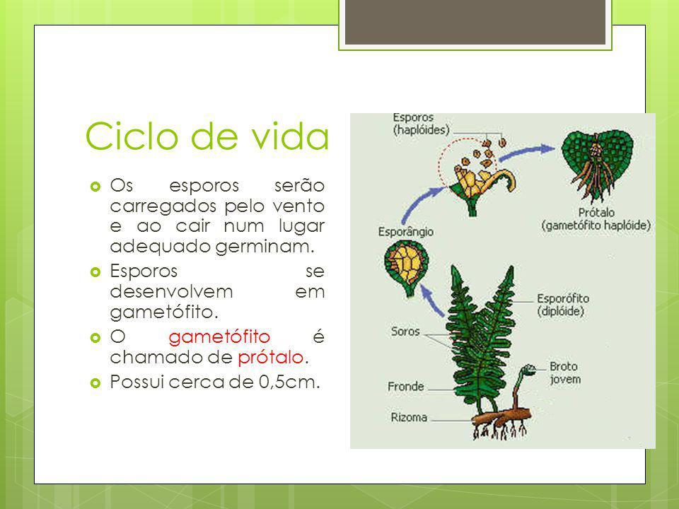 Ciclo de vida Os esporos serão carregados pelo vento e ao cair num lugar adequado germinam. Esporos se desenvolvem em gametófito.