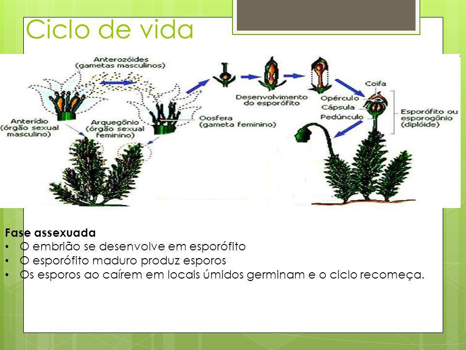 Ciclo de vida Fase assexuada O embrião se desenvolve em esporófito