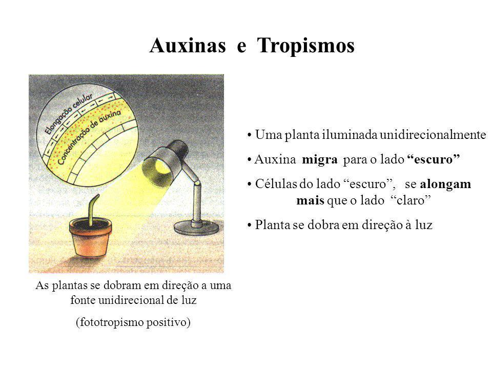 Auxinas e Tropismos Uma planta iluminada unidirecionalmente