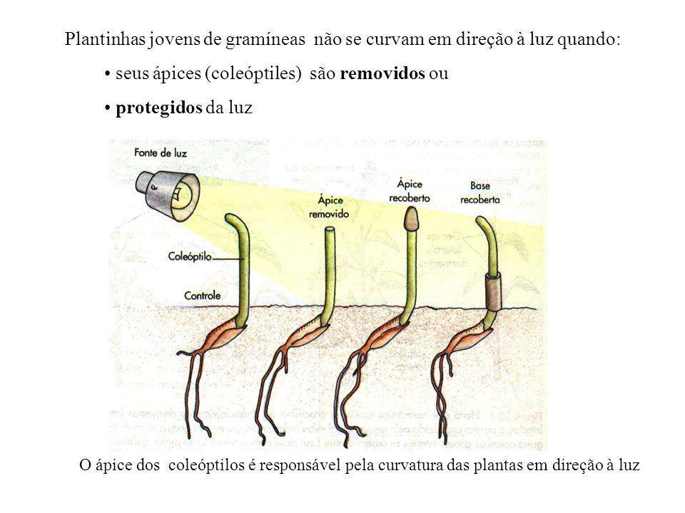 Plantinhas jovens de gramíneas não se curvam em direção à luz quando: