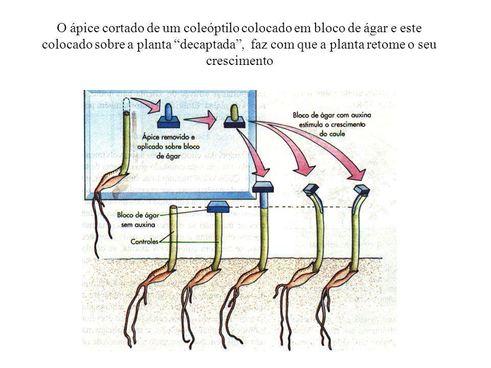 O ápice cortado de um coleóptilo colocado em bloco de ágar e este colocado sobre a planta decaptada , faz com que a planta retome o seu crescimento