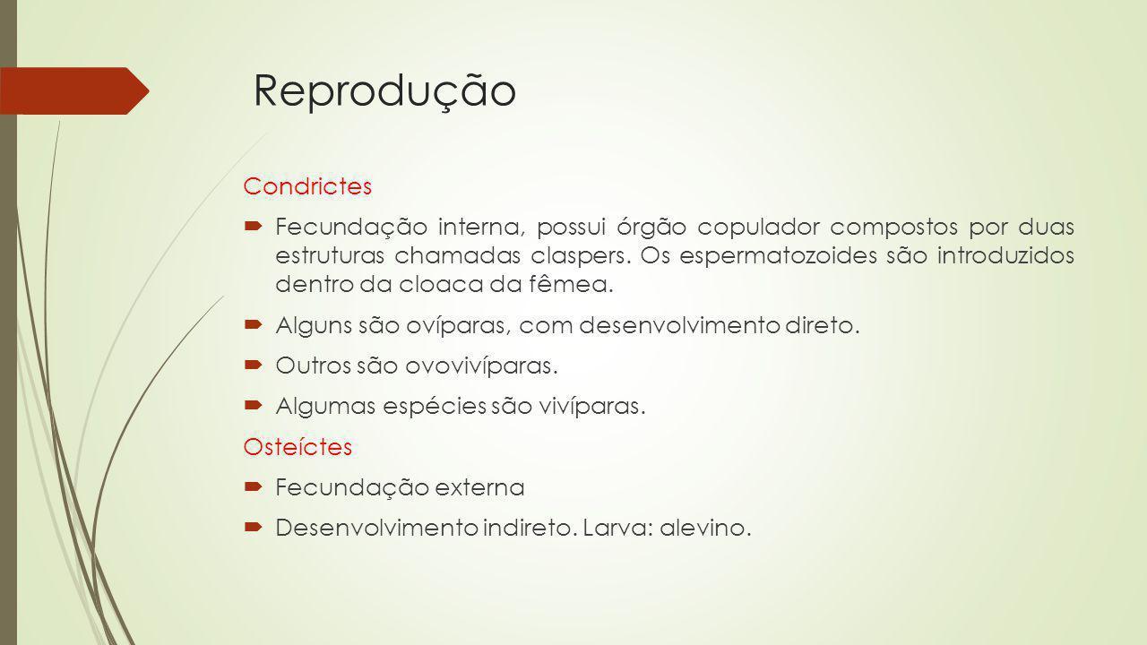 Reprodução Condrictes