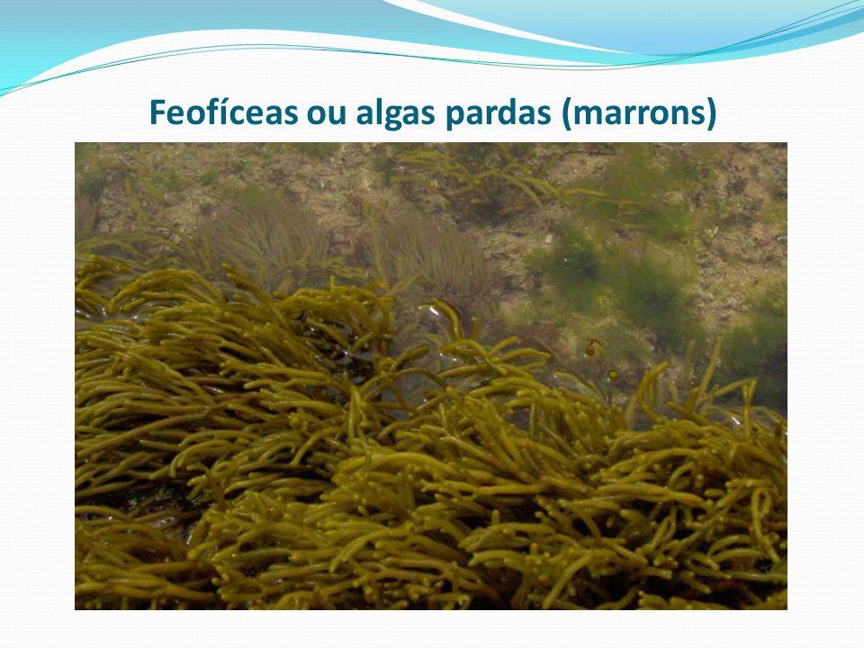 Feofíceas ou algas pardas (marrons)