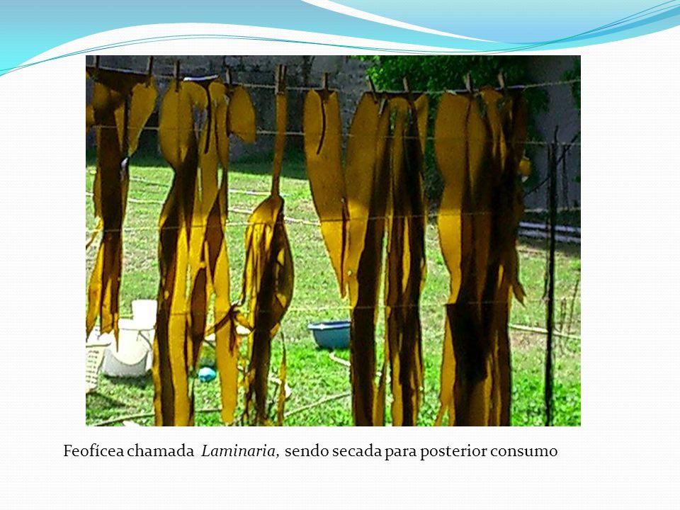Feofícea chamada Laminaria, sendo secada para posterior consumo