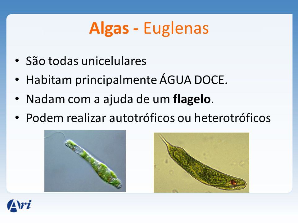 Algas - Euglenas São todas unicelulares
