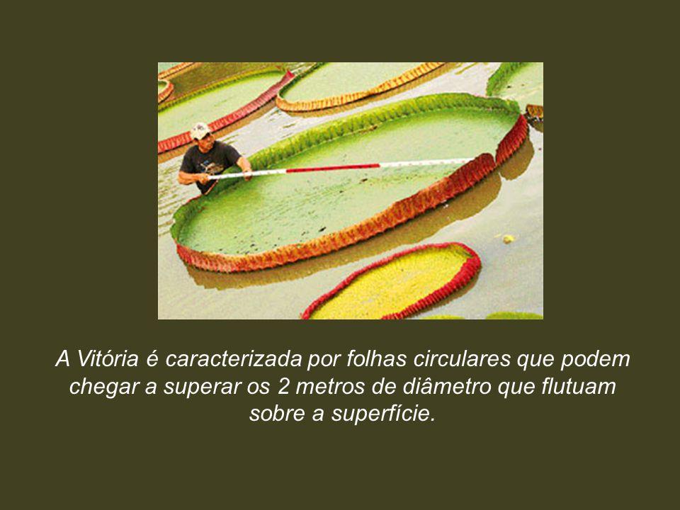 A Vitória é caracterizada por folhas circulares que podem chegar a superar os 2 metros de diâmetro que flutuam sobre a superfície.