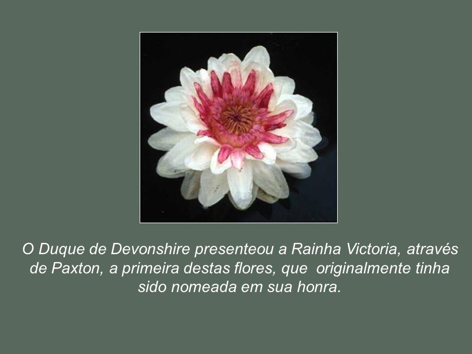 O Duque de Devonshire presenteou a Rainha Victoria, através de Paxton, a primeira destas flores, que originalmente tinha sido nomeada em sua honra.