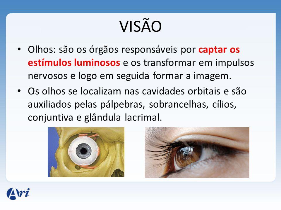 VISÃO Olhos: são os órgãos responsáveis por captar os estímulos luminosos e os transformar em impulsos nervosos e logo em seguida formar a imagem.