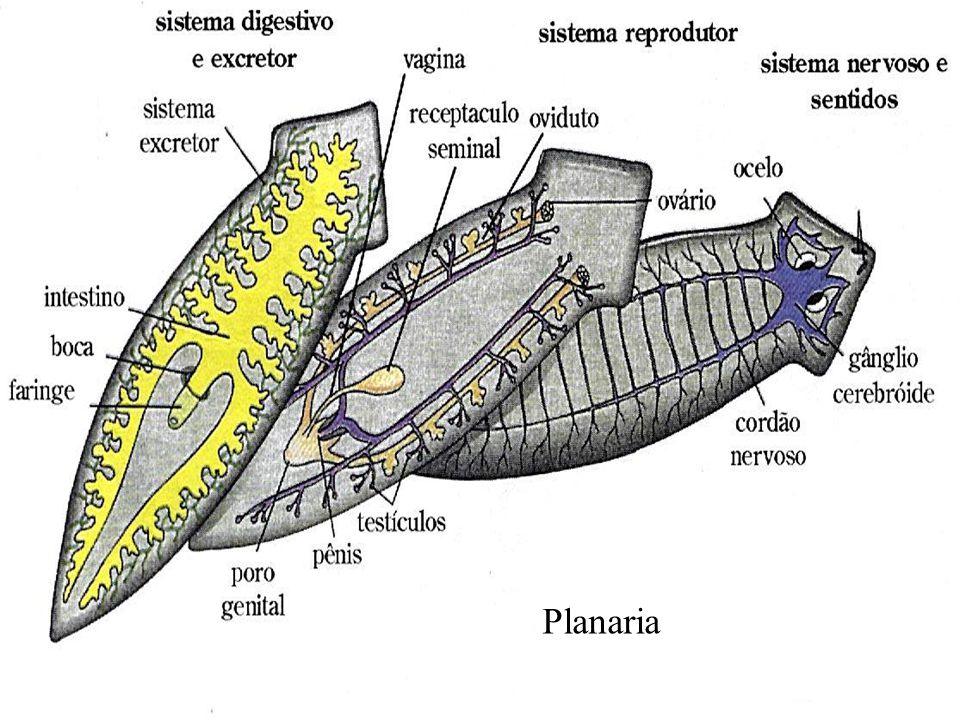 Planaria