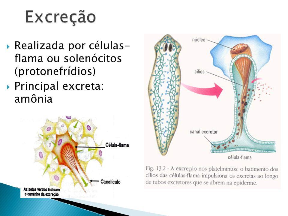 Excreção Realizada por células- flama ou solenócitos (protonefrídios)