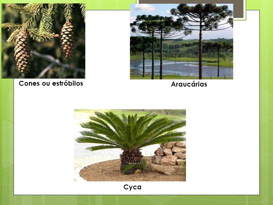 Cones ou estróbilos Araucárias Cyca