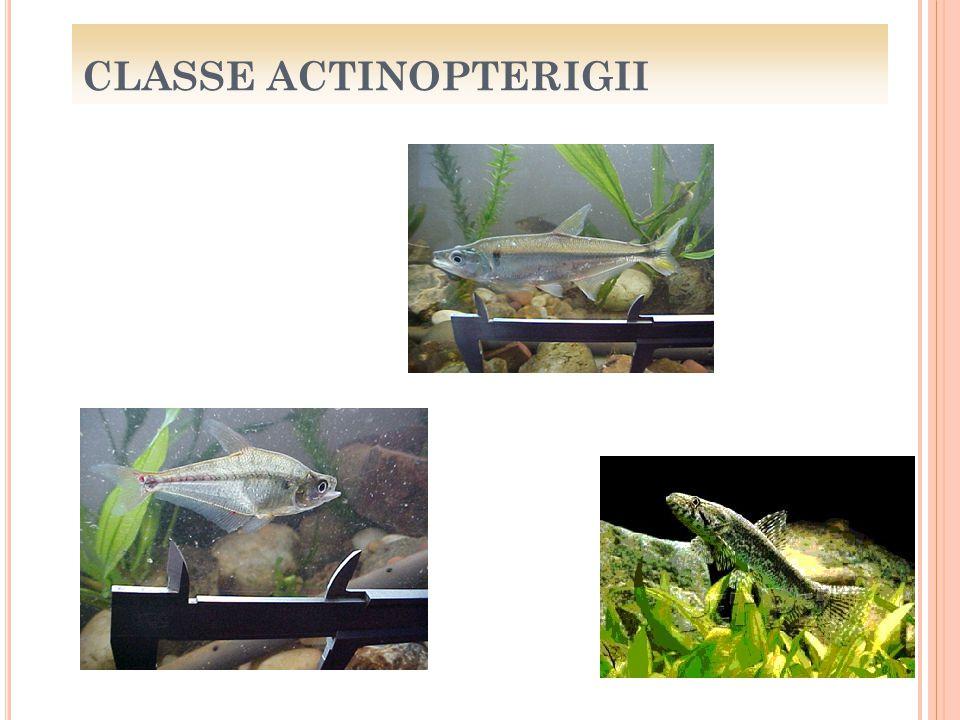 CLASSE ACTINOPTERIGII