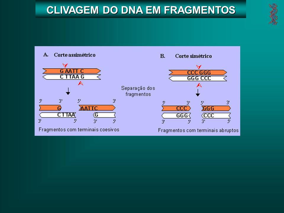 CLIVAGEM DO DNA EM FRAGMENTOS
