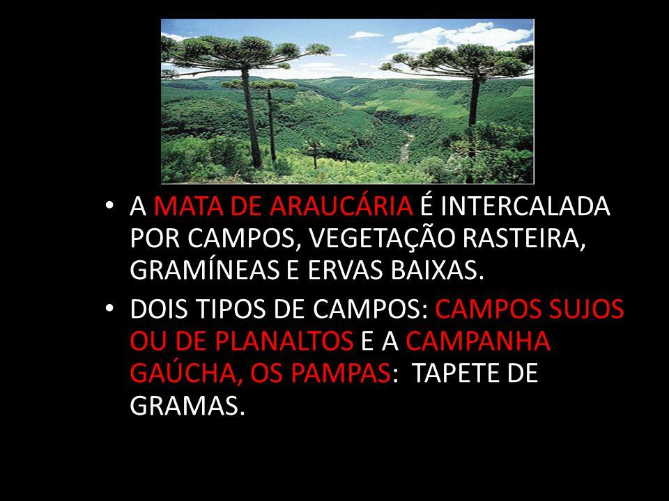 A MATA DE ARAUCÁRIA É INTERCALADA POR CAMPOS, VEGETAÇÃO RASTEIRA, GRAMÍNEAS E ERVAS BAIXAS.