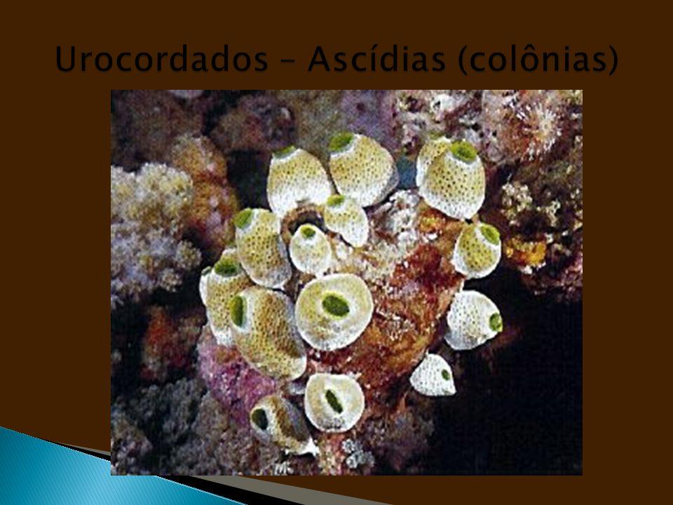 Urocordados – Ascídias (colônias)