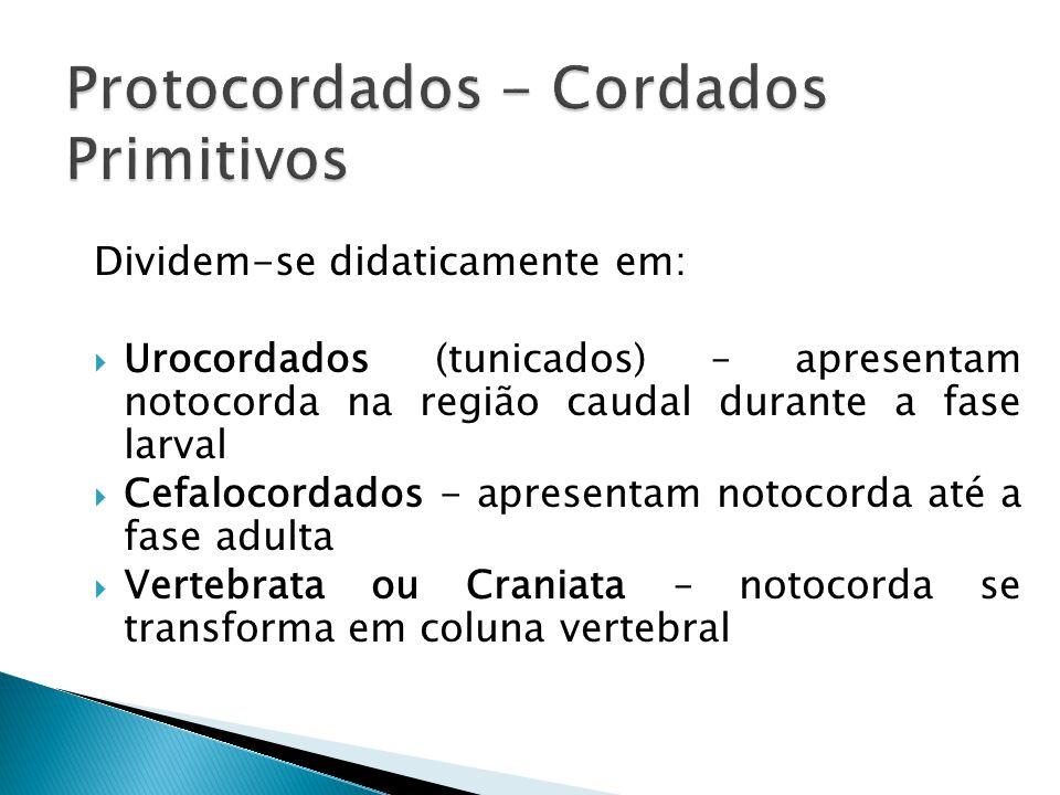 Protocordados - Cordados Primitivos