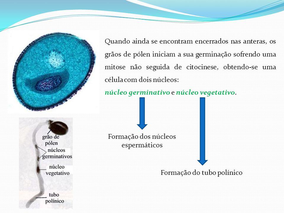 Formação dos núcleos espermáticos