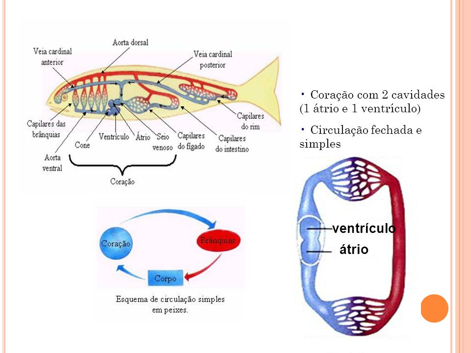 ventrículo átrio Coração com 2 cavidades (1 átrio e 1 ventrículo)