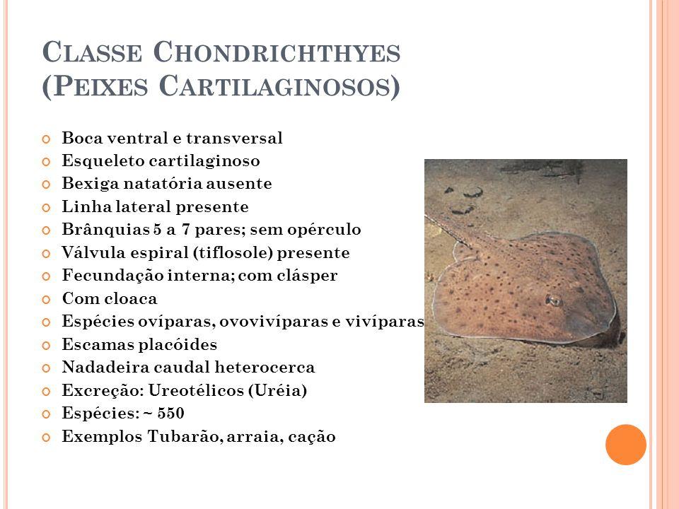 Classe Chondrichthyes (Peixes Cartilaginosos)