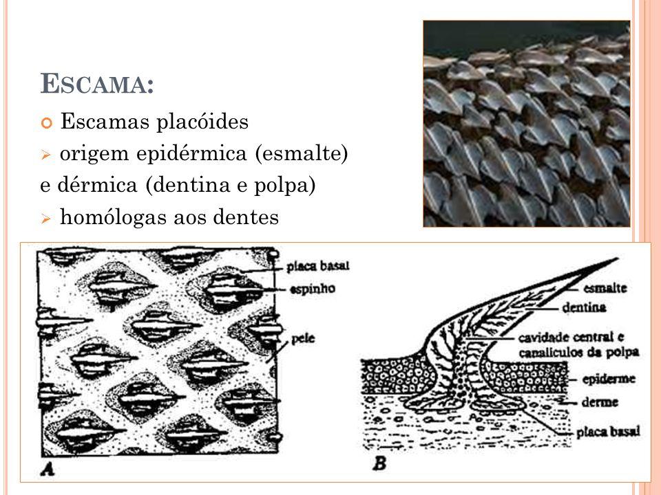 Escama: Escamas placóides origem epidérmica (esmalte)