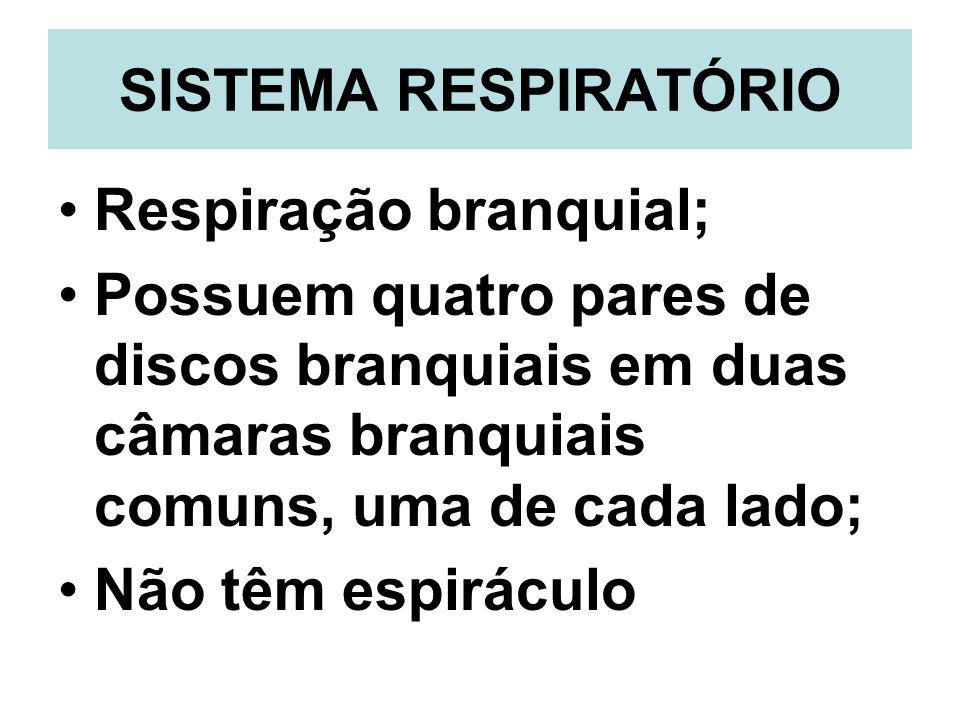 SISTEMA RESPIRATÓRIO Respiração branquial; Possuem quatro pares de discos branquiais em duas câmaras branquiais comuns, uma de cada lado;