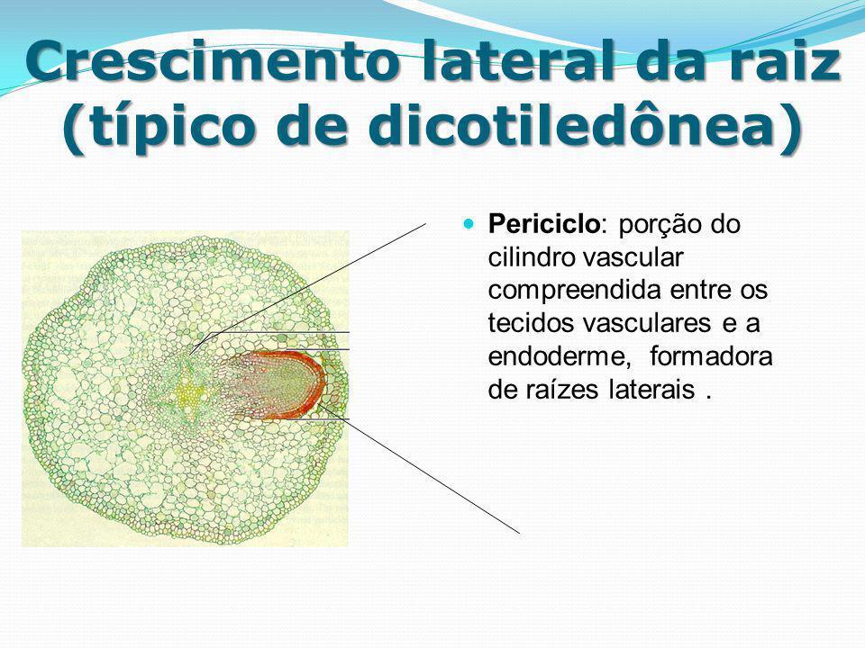 Crescimento lateral da raiz (típico de dicotiledônea)