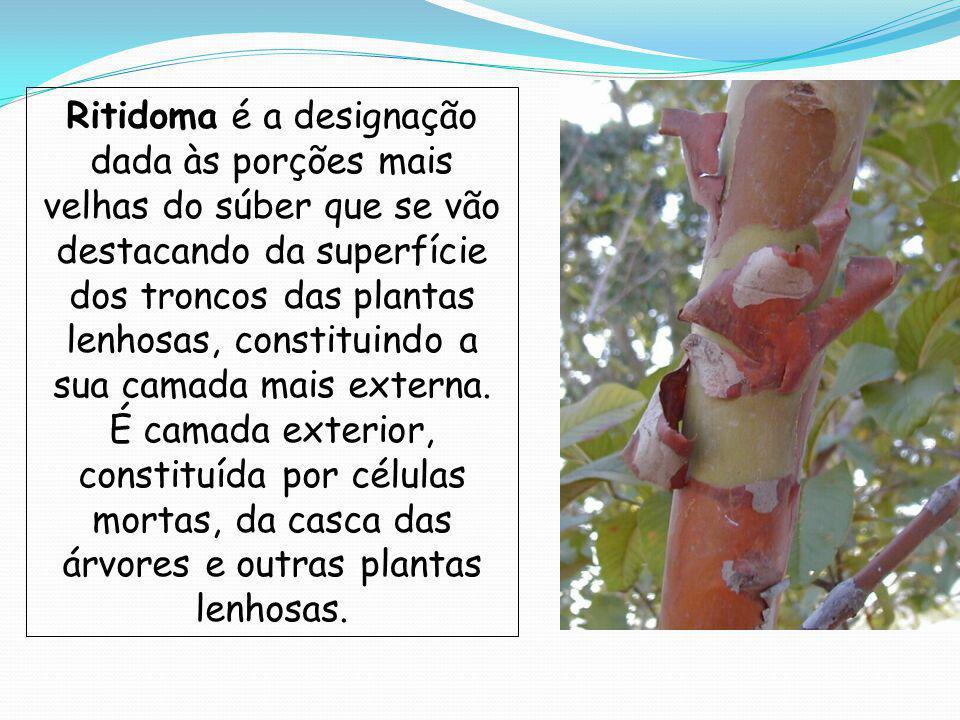 Ritidoma é a designação dada às porções mais velhas do súber que se vão destacando da superfície dos troncos das plantas lenhosas, constituindo a sua camada mais externa.