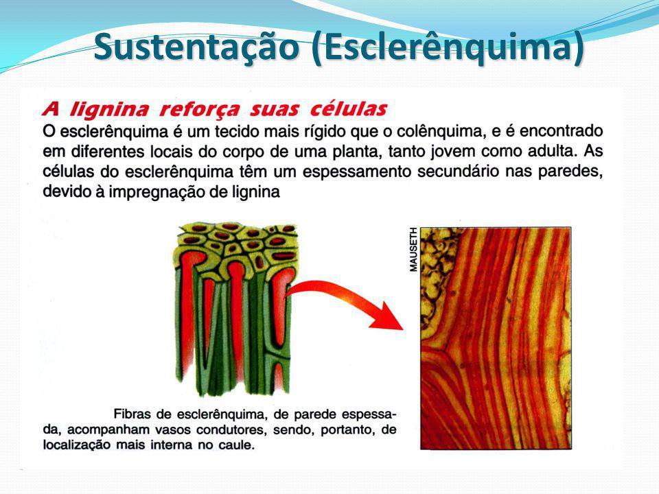 Sustentação (Esclerênquima)