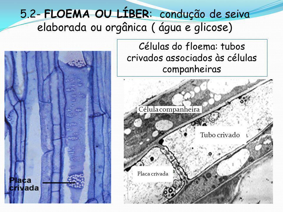 Células do floema: tubos crivados associados às células companheiras