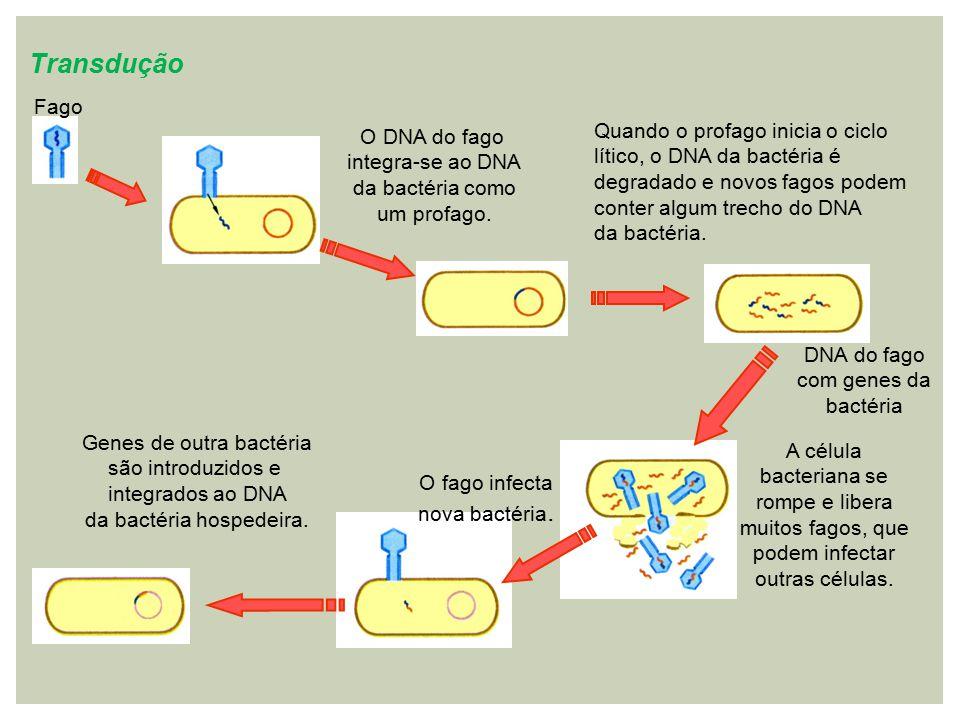 Transdução Fago. O DNA do fago integra-se ao DNA da bactéria como um profago.