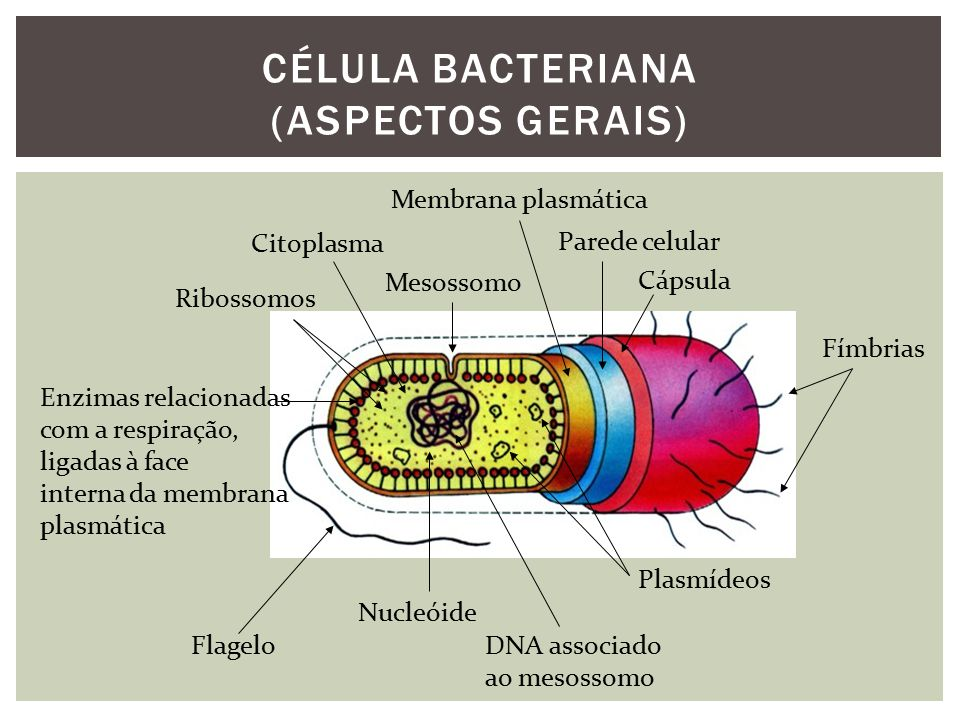 CÉLULA BACTERIANA (ASPECTOS GERAIS)