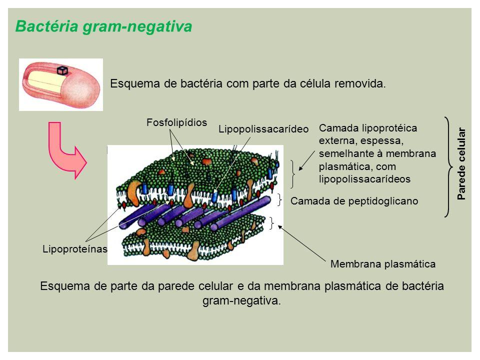 Bactéria gram-negativa