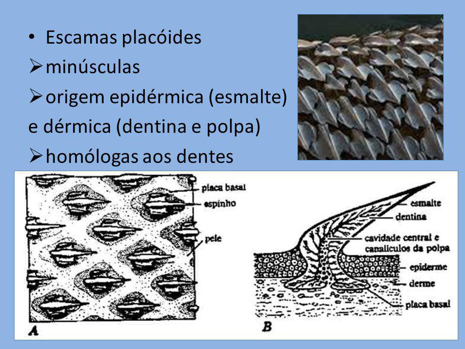 Escamas placóides minúsculas.
