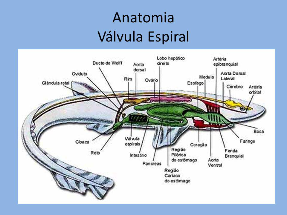 Anatomia Válvula Espiral
