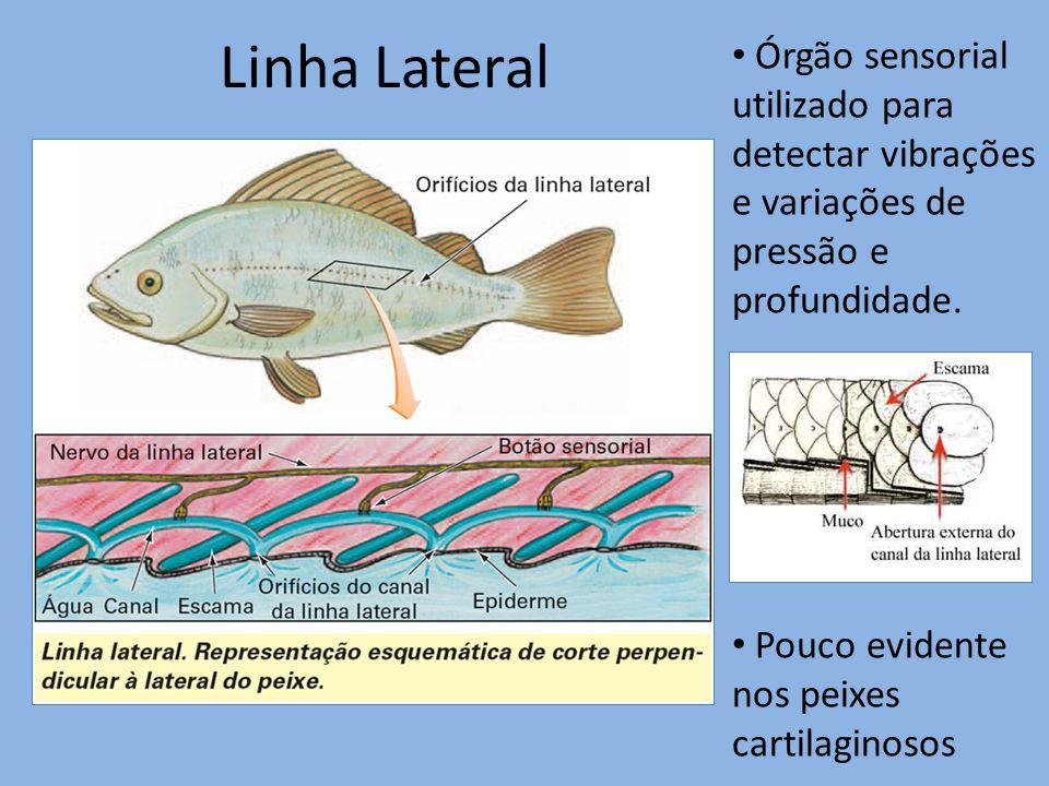 Linha Lateral Órgão sensorial utilizado para detectar vibrações e variações de pressão e profundidade.