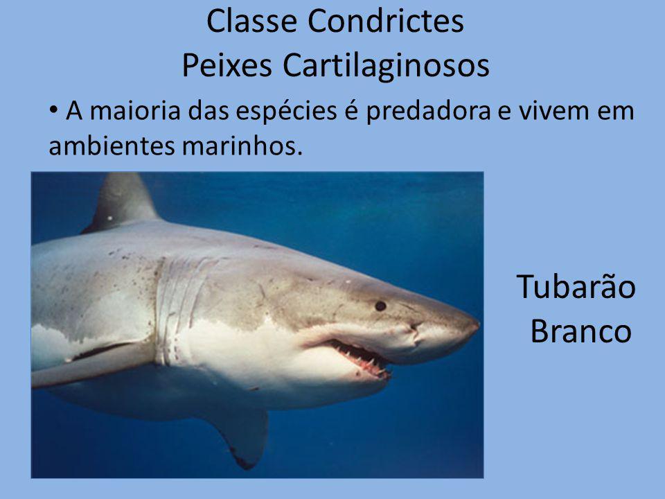 Classe Condrictes Peixes Cartilaginosos