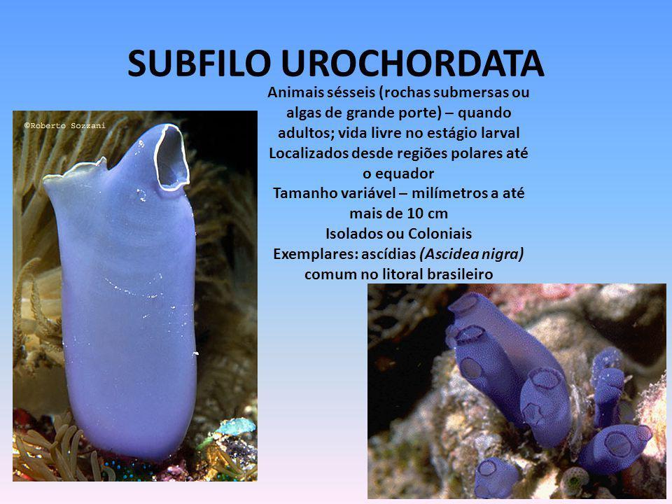 SUBFILO UROCHORDATA Animais sésseis (rochas submersas ou algas de grande porte) – quando. adultos; vida livre no estágio larval.