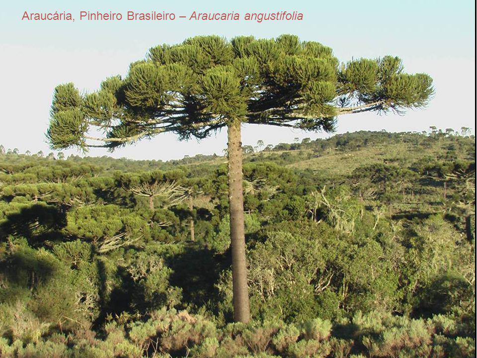 Araucária, Pinheiro Brasileiro – Araucaria angustifolia