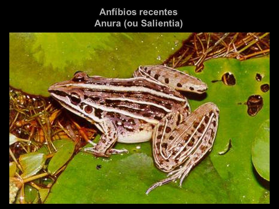 Anfíbios recentes Anura (ou Salientia)