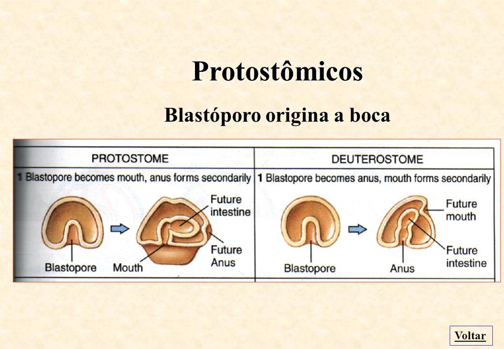 Blastóporo origina a boca
