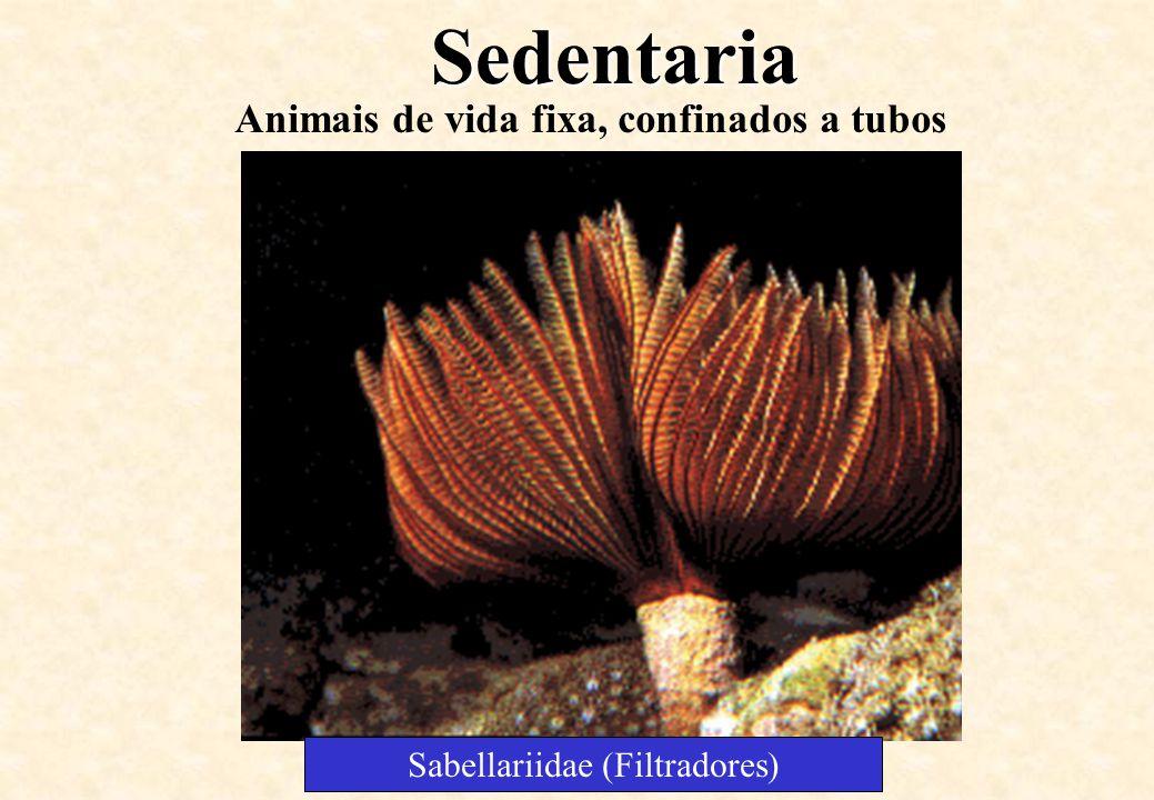 Sabellariidae (Filtradores)