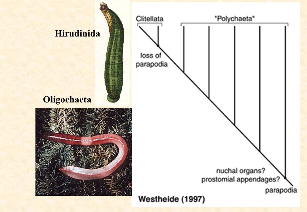 Hirudinida Oligochaeta