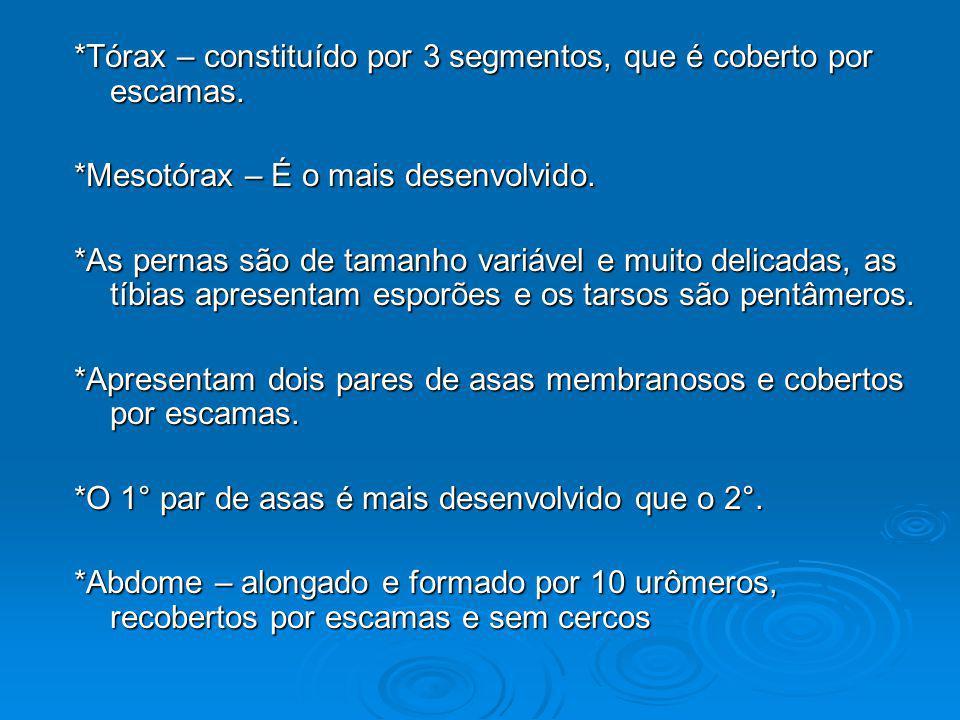 *Tórax – constituído por 3 segmentos, que é coberto por escamas.