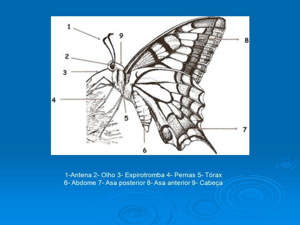 1-Antena 2- Olho 3- Espirotromba 4- Pernas 5- Tórax