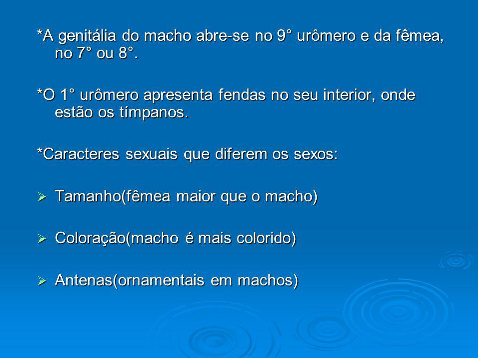 *A genitália do macho abre-se no 9° urômero e da fêmea, no 7° ou 8°.